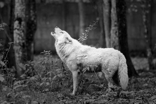 Loup qui hurle à la lune